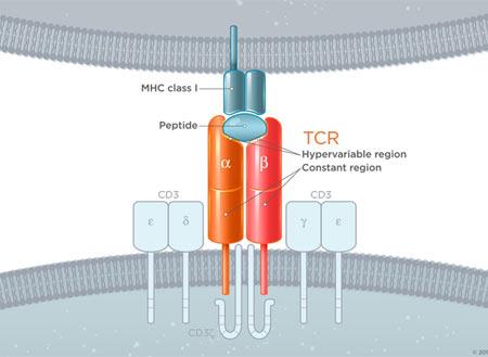 Basic TCR